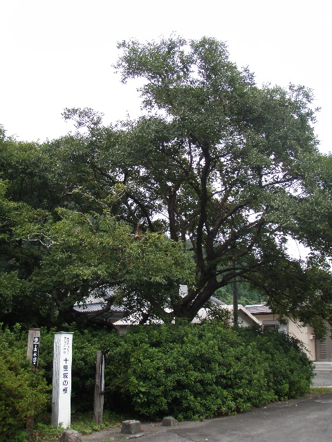 十里塚の榎.JPG